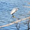 Water fowl, Riparian Preserve, Gilbert