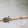 Turtle rests on a log, even in the rain @Riparian