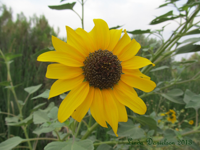 Another desert sunflower, at Riparian