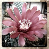 a bloomin' cactus in my yard, shot with Retro Camera on my Android phone.  :)