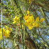 Theme:  May flowers.  Flowering Palo Verde tree