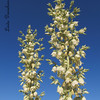 Soaptree Yucca in bloom