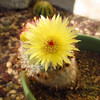 "First bloom opened, the only yellow bloom so far<br /> this week's theme ""within a mile of home"""