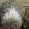 "A study in textures, cactus close up.<br /> I think this is one of my favs -- thorns and yet soft hairy fronds on this one called ""Old Man of the Andes"""