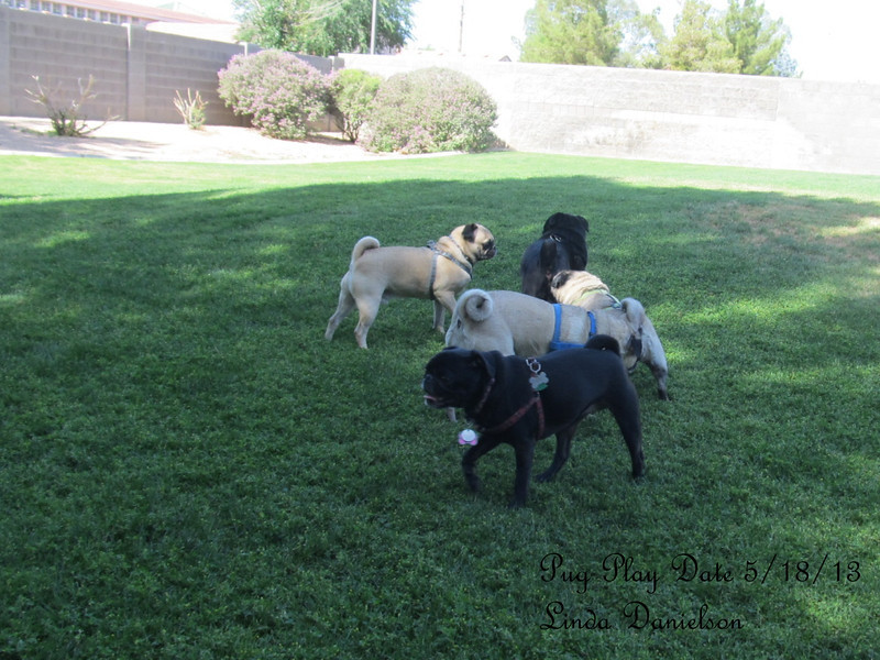 Pug Play Date 5/18/2013 - none of them are still enough for photo ops!  but that's ok :)