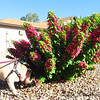 Sadie checks out as many bushes as possible on our morning walks (bougainvillea)