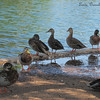 Ducks at water's edge, Desert Breeze Park, Chandler