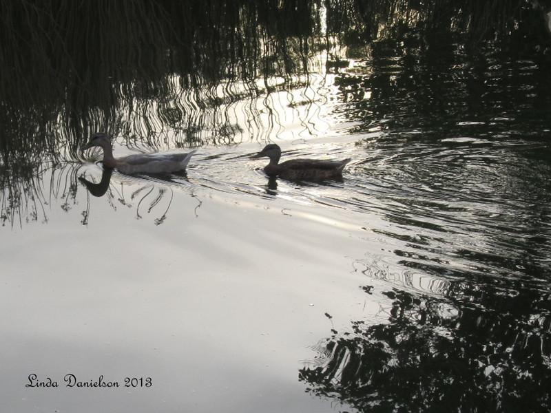 Quack Quack - Ducks crossing @Riparian