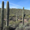 Saguaro Cactus dot the landscape