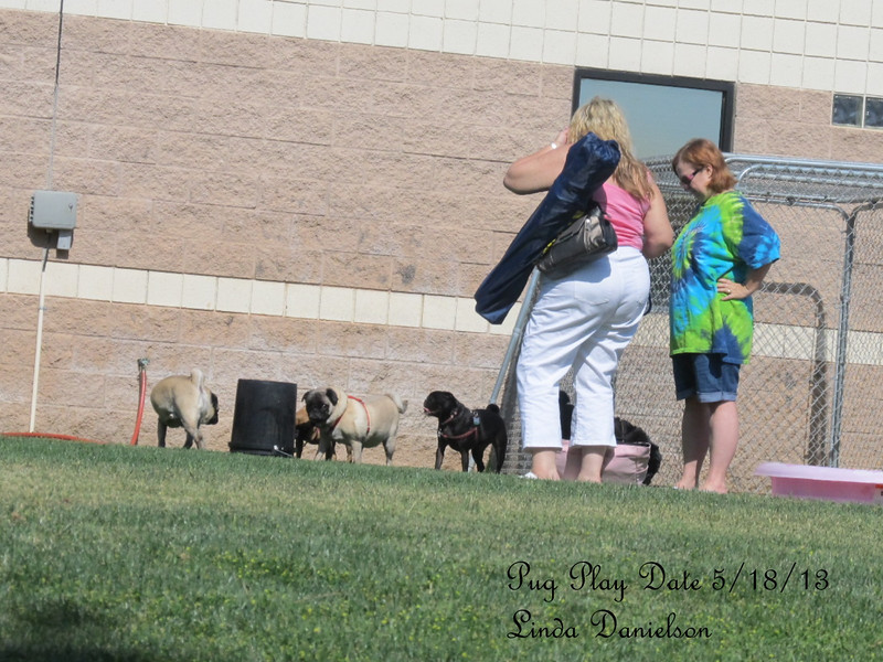 Pug Play Date 5/18/2013 - there were about 15 pugs total, most ranged from about a year to ten years old.