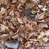 Theme:  interesting things on the ground<br /> open seed pod in the leaves
