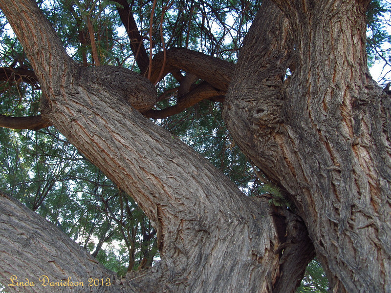 When's the last time you felt like climbing a tree?<br /> (This one's in my front yard!)