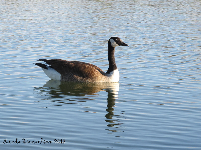 This one swims by so proud and stately.... at Riparian Pond
