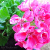 "Geranium.  I planted this for ""Earth Day"""