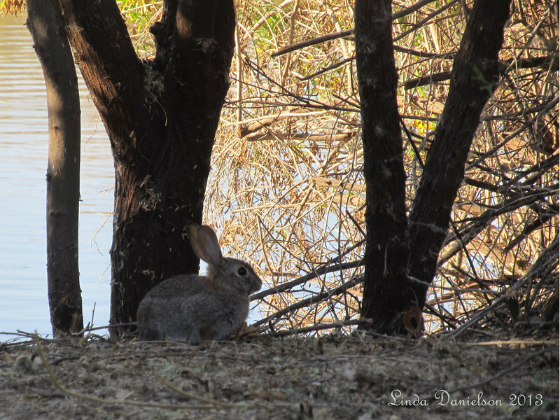 Wildlife bunny at Riparian Preserve, Gilbert