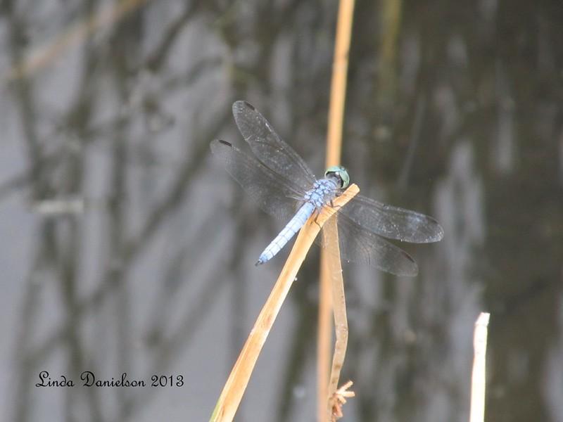 Dragonfly, taken at #Riparian Preserve, Gilbert