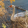 Goose at Riparian Preserve, Gilbert<br /> (this one swam right up to us, but once there, if we so much as moved, it hissed at us ... hehehe)