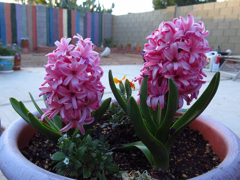 Hyacinth blooming in my backyard