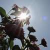 "Topic this week was a study in ""Lens Flare""<br /> sunlight filtered through a desert flower"