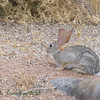 bunnies run wild at Riparian Preserve