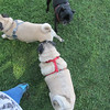Pug Play Date 5/18/2013 - and of course, lots of sniffin' goin' on