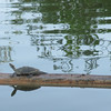 Turtle on a log seen on our early morning walk @Riparian