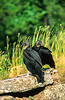 Black vultures at overlook in Arkansas' Pea Ridge National Military Park - 4 - 72 ppi