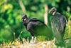 Black vultures at overlook in Arkansas' Pea Ridge National Military Park - 1 - 72 ppi