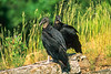 Black vultures at overlook in Arkansas' Pea Ridge National Military Park - 2 - 72 ppi