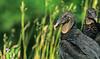 Black vultures at overlook in Arkansas' Pea Ridge National Military Park - 2 - 72 ppi-2