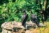 Black vultures at overlook in Arkansas' Pea Ridge National Military Park - 5 - 72 ppi