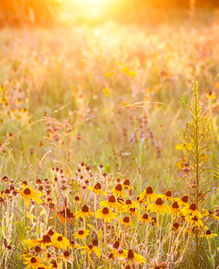 Black-eyed Susan's glowing at Sunset