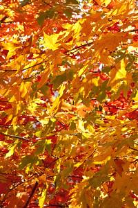 Maple Leaf Confusion