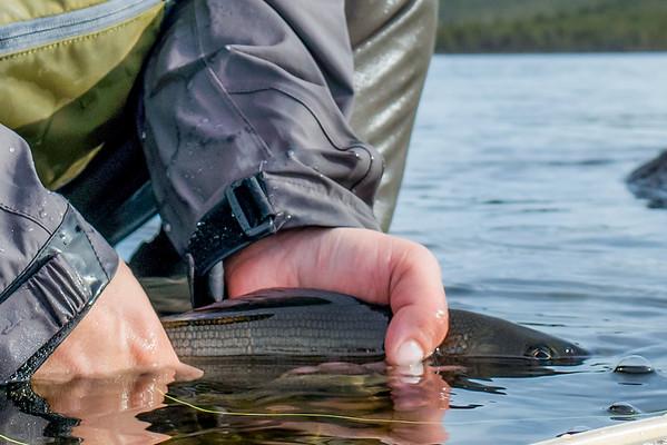 Harren får tilbake sin frihet i Istefossen. Den har knapt vært ute av vannet, bar i nettet under vann