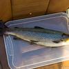 Första fisken på söndag, 1,0 kg öring
