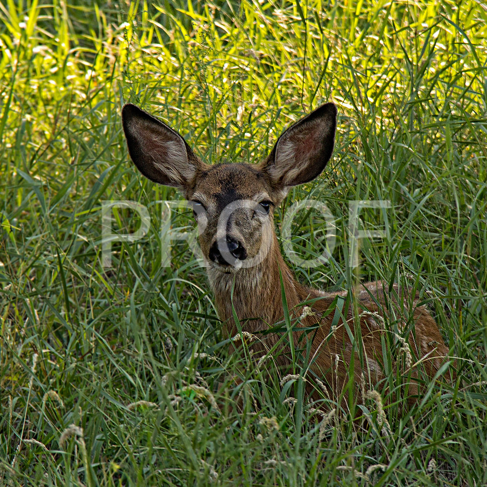Young Doe Chilling in the grass