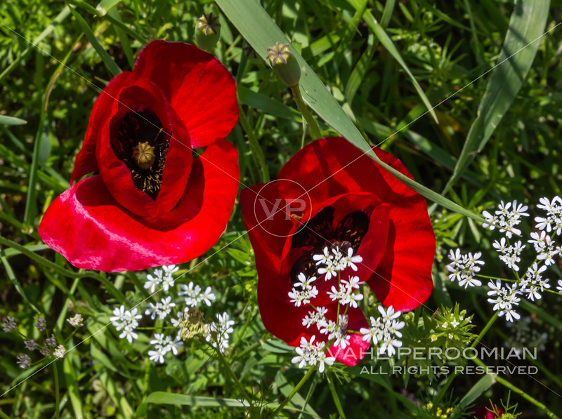 The Red Poppies of Spring