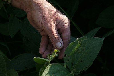 Arnie Ralston checks to see if this soy bean plant will produce two or three finger beans at a field near his house on IL route 130 about ten miles south of Charleston, Illinois on Tuesday, September 16, 2008.  (Jay Grabiec/Staff Photographer)