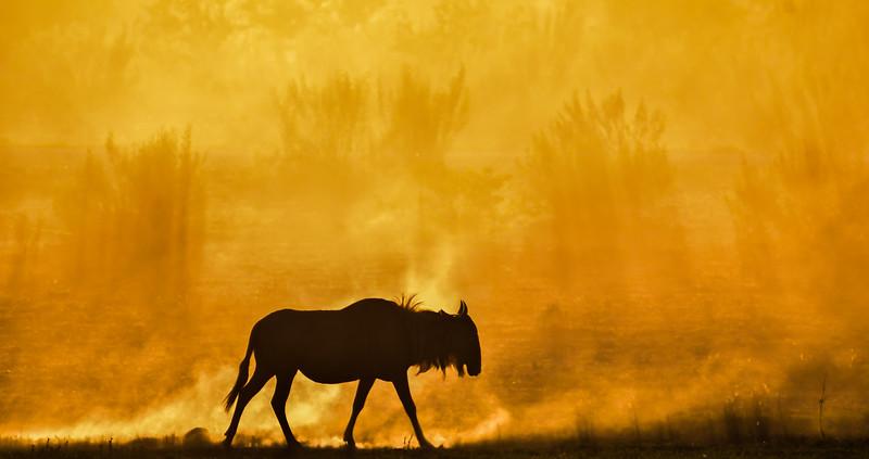 Wildebeest At Sunrise