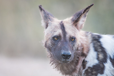 Wildlife (African Wild Dog)