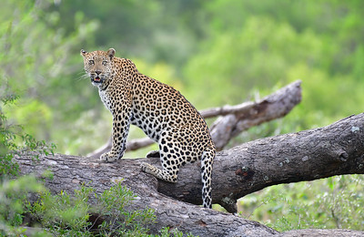 Leopard on Patrol
