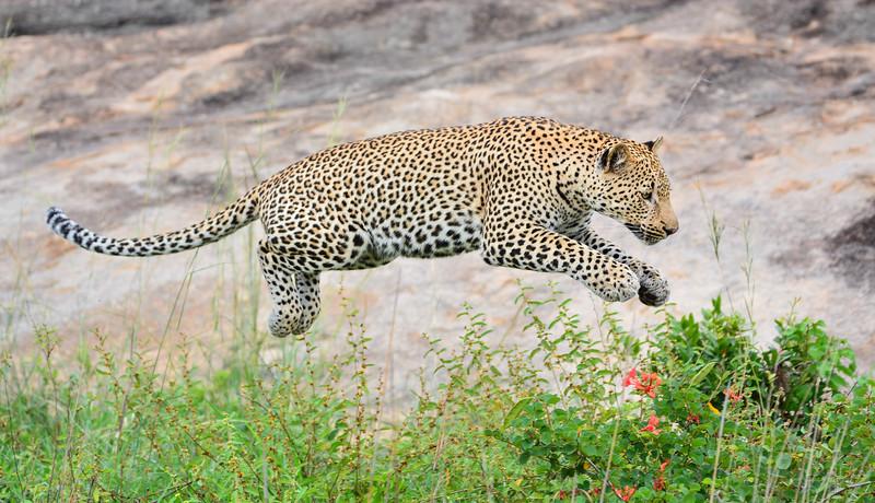 Wildlife (Leopard)