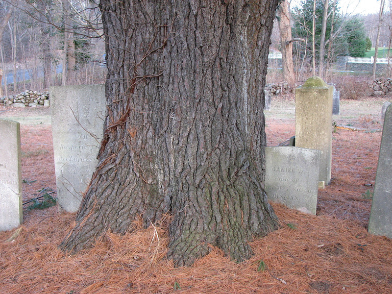 A interesting tree in the cemetery which has grown over and around a couple of gravestones