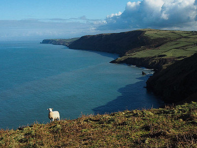 A sheep on the coastal path