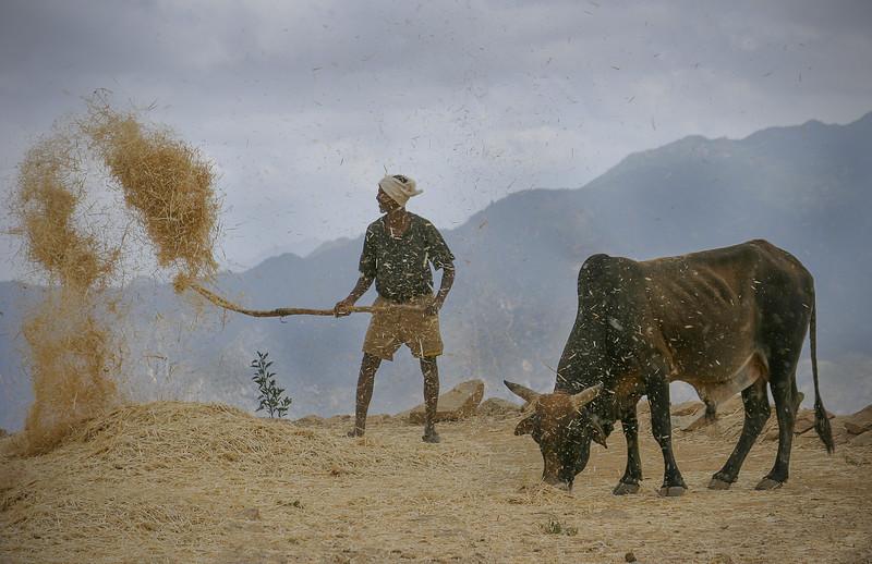 Threshing Rice, Eritrean Highlands