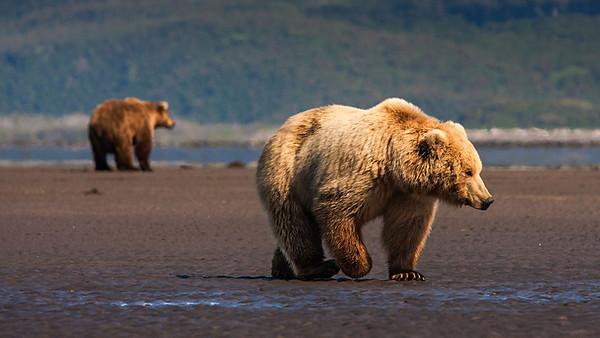 Bears of Katmai National Park Alaska.