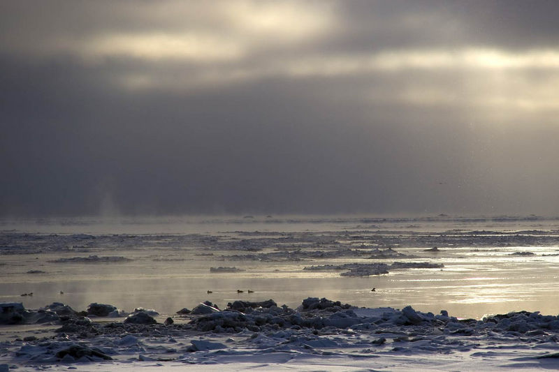 Cold ducks in Dillingham Alaksa.