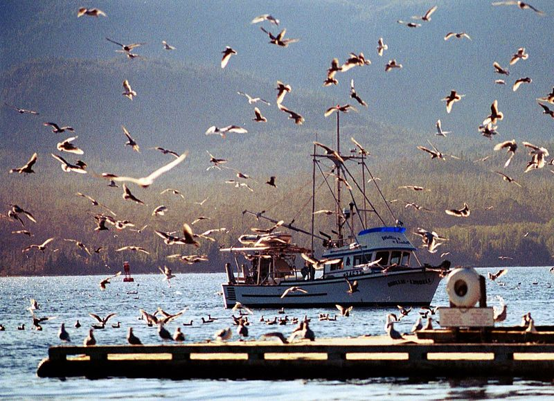 Greedy birds awaiting free meals from the arriving fishing charters in Ketchikan. 2003