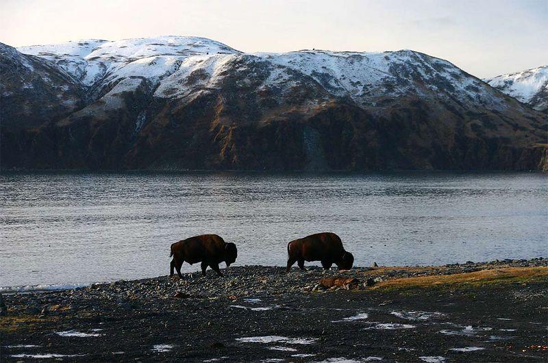 There is buffalo in Kodiak Alaska.