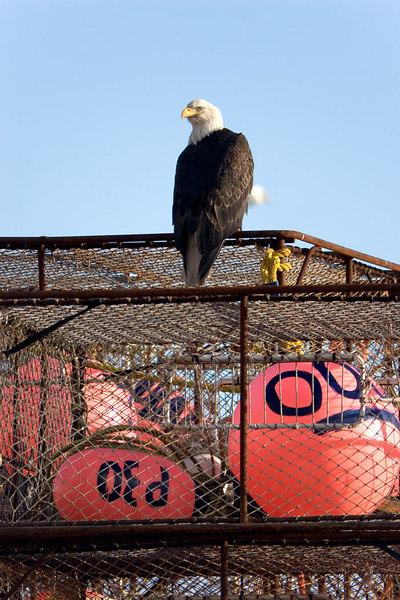 Bald Eagle near downtown Kodiak, Alaska.